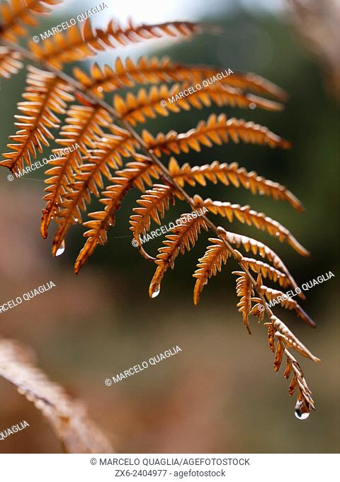 Dry bracken leaf with raindrops (Pteridium aquilinum). Montseny Natural Park. Barcelona province, Catalonia, Spain
