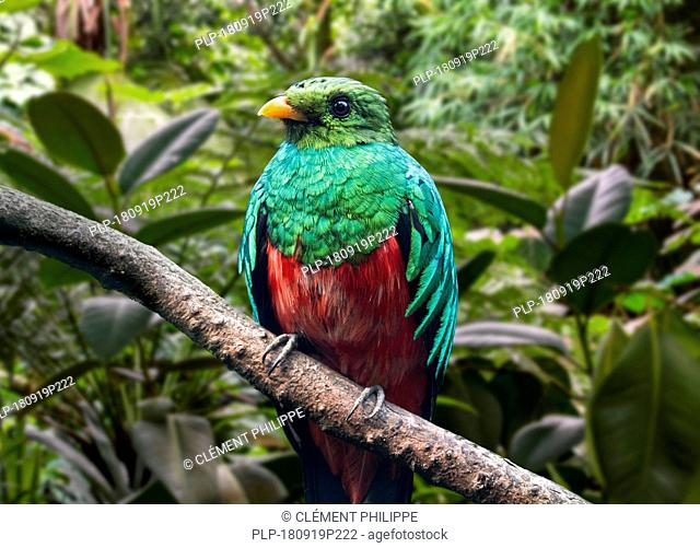 Golden-headed quetzal (Pharomachrus auriceps) perched in tree, native to Central and South America