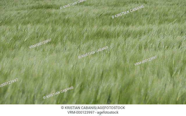 Green wheat moving in the wind, Foehr, Northfrisian Islands, Schleswig-Holstein, Germany, Europe