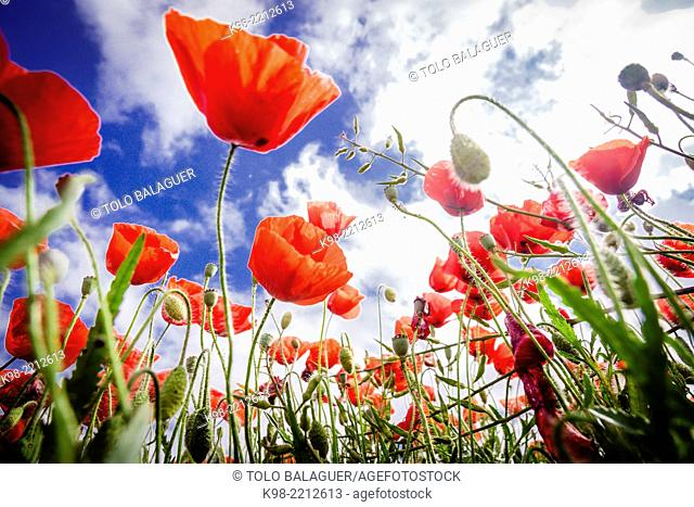 Papaver rhoeas (Common Poppies), Porreres, Majorca, Balearic Islands, Spain