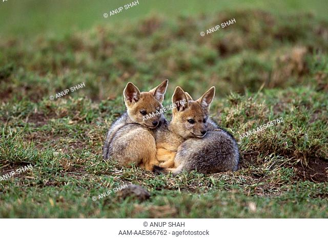Black-backed jackal five week old pups playing resting (Canis mesomelas). Maasai Mara National Reserve, Kenya. Aug 2011