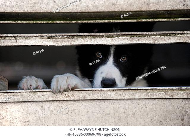Domestic Dog, Border Collie sheepdog, puppy, looking out from pen on farm, England, april