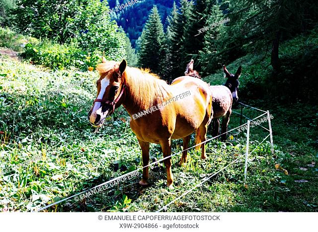 Horse and donkey in a mountain fence, Alpe Devero, Italy