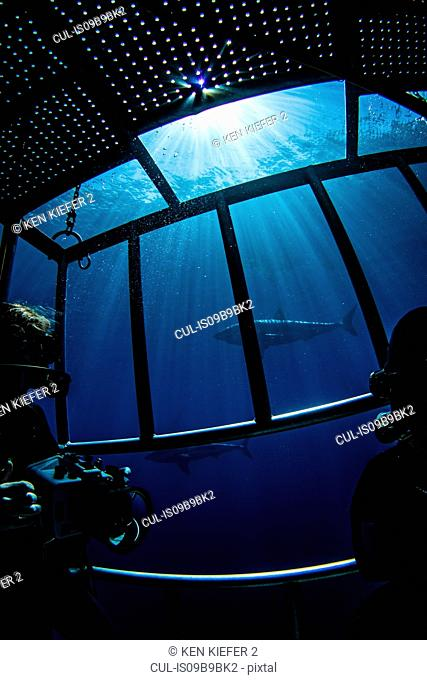 Divers photographing sharks from shark cage