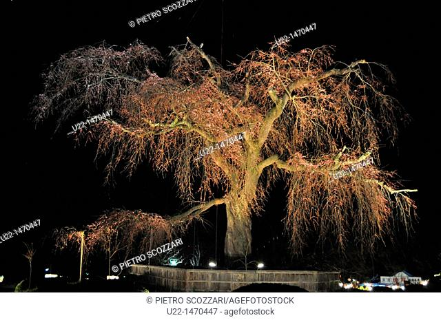 Kyoto (Japan): blossoming cherry tree artificially illuminated at night in Maruyama park, during Spring