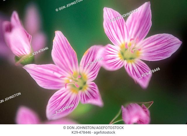 Spring beauties, Claytonia virginica. Deciduous woodland spring flower with insect guidelines in petals. Manitoulin Island. Ontario, Canada