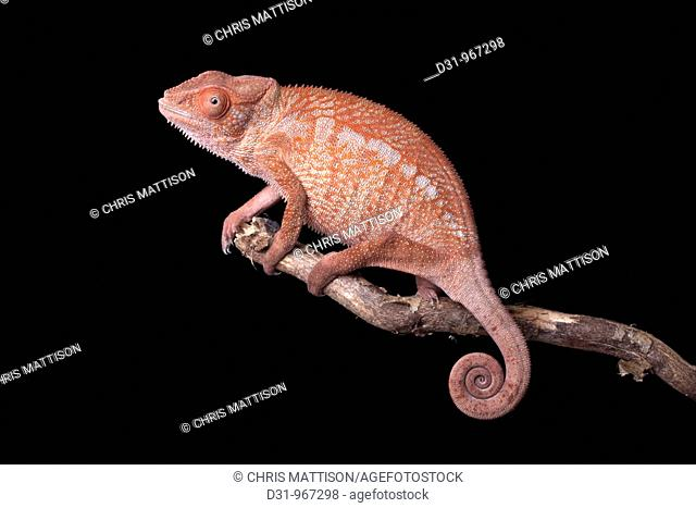 Panther Chameleon, Furcifer pardalis, Nosy Faly, Madagascar