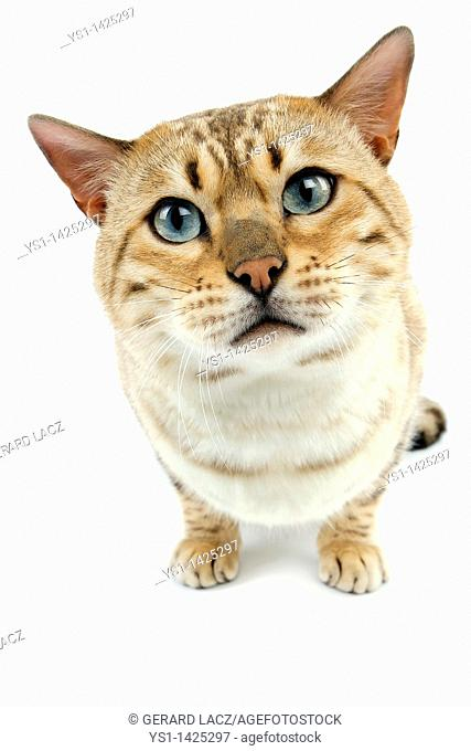 SEAL MINK TABBY BENGAL DOMESTIC CAT