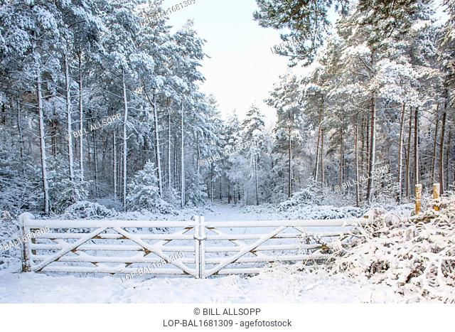 England, Leicestershire, Newtown Linford. Snow covered woodland in Charnwood Forest
