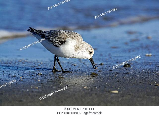 Sanderling (Calidris alba) in non-breeding plumage foraging at the edge of the surf along the North Sea coast in winter