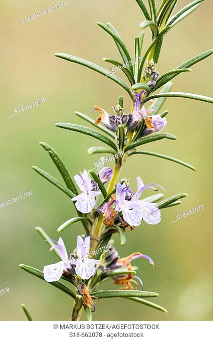 Flowers of the Rosemary (Rosmarinus officinalis) in a Botanical Garden. North Rhine-Westphalia. Germany