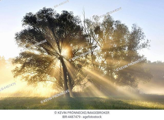 Sunbeams shining through trees, River Elbe Floodplains at sunrise, foggy atmosphere, Middle Elbe Biosphere Reserve, Saxony-Anhalt, Germany
