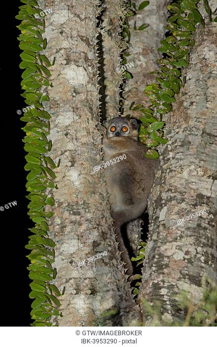 Reddish-gray Mouse Lemur (Microcebus griseorufus) in an octopus tree, Toliara Province, Madagascar