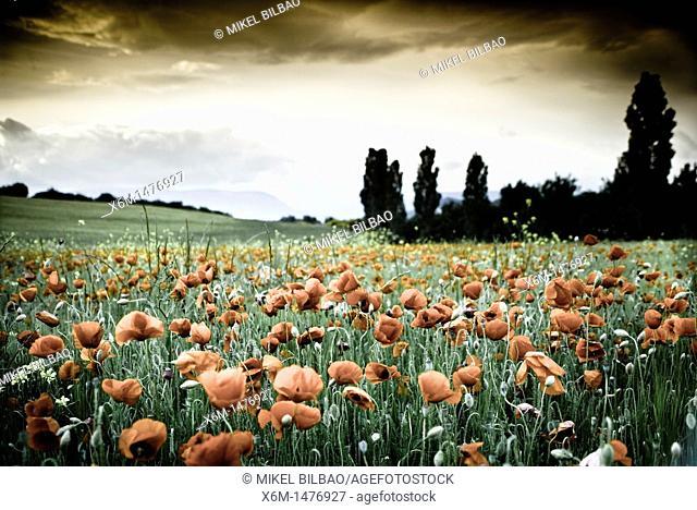 corn poppy, corn rose, field poppy, Flanders poppy, or red poppy Papaver rhoeas  Ayegui ,Navarre, Spain, Europe