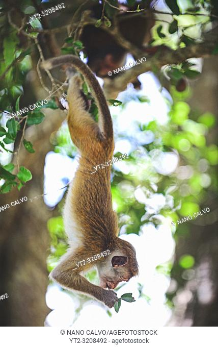 Toque macaque (Macaca sinica) hanging from tree in Anuradhapura, Sri Lanka