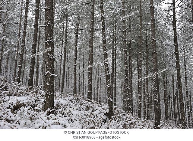 pine wood, Forest of Rambouillet in the snow near Poigny-la-Foret, , Haute Vallee de Chevreuse Regional Natural Park, Yvelines department, Ile de France region