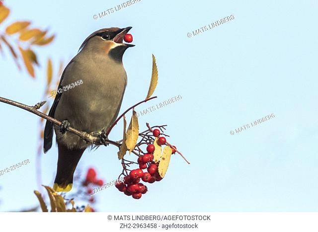 Bohemian waxwing, Bombycilla garrulus sitting in a rowan tree with a rowan berry in his beak, Gällivare, Swedish Lapland, Sweden