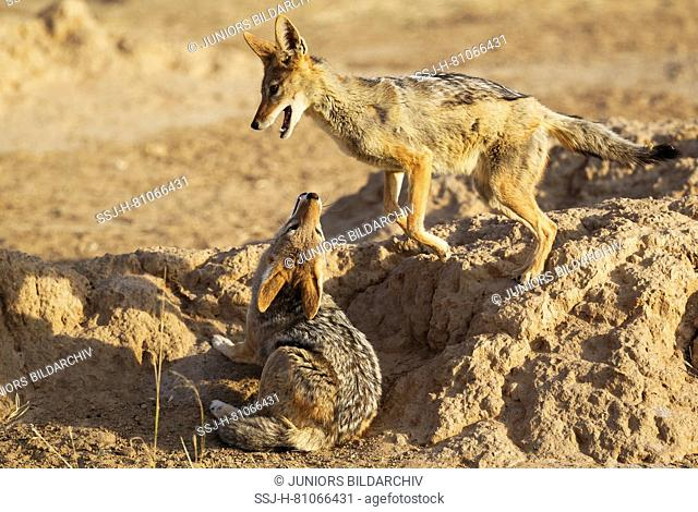 Black-backed Jackal (Canis mesomelas). Two adults playing. Kalahari Desert, Kgalagadi Transfrontier Park, South Africa