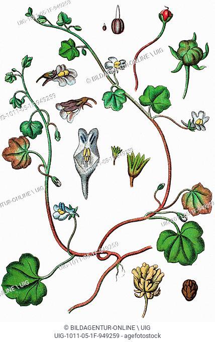 Ivy-leaved toadflax or kenilworth ivy, cymbalaria muralis, syn.: linaria cymbalaria