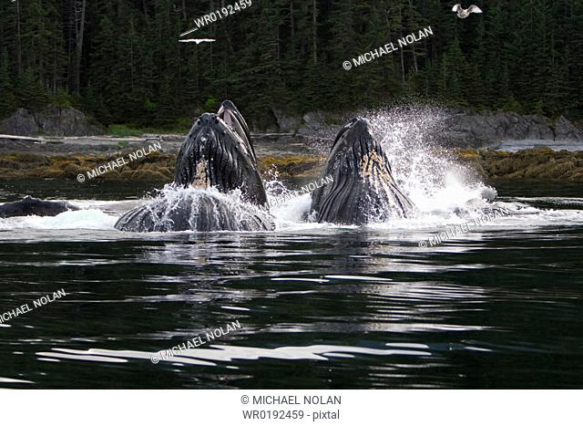 A group of adult humpback whales Megaptera novaeangliae co-operatively 'bubble-net' feeding along the west side of Chatham Strait in Southeast Alaska