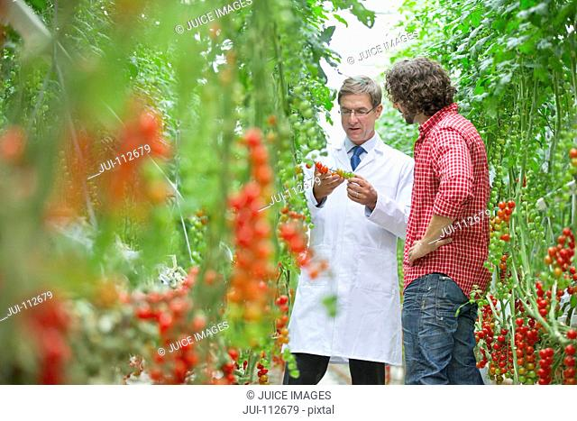 Food scientist and grower inspecting tomatoes ripening on vine in greenhouse