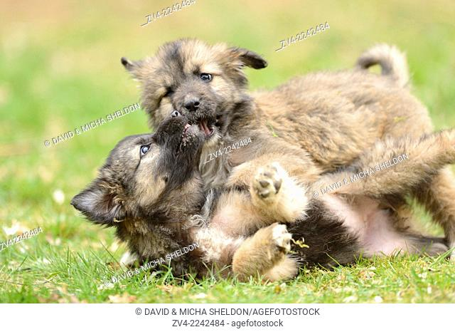 Close-up of two mixed breed dog puppies in a garden in spring