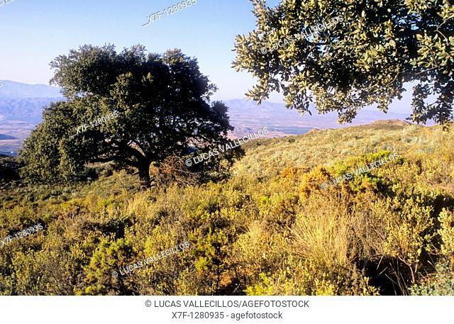 Ilex quercus ilex in Sierra Alhamilla Almeria province, Andalucia, Spain
