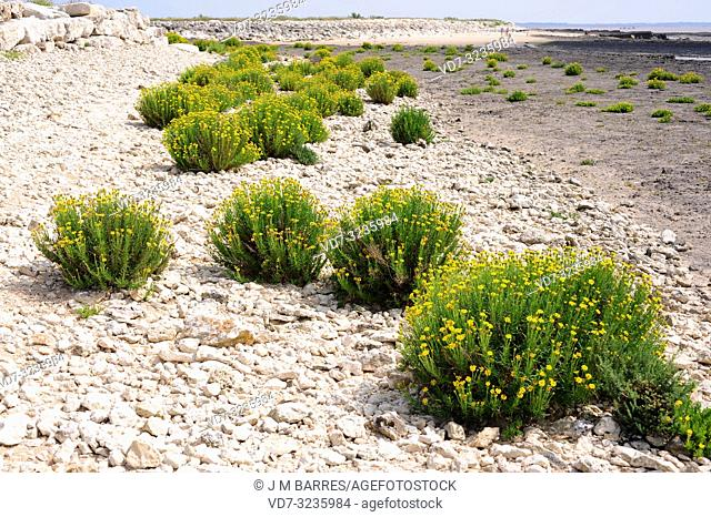 Golden samphire (Inula crithmoides or Limbarda crithmoides) is a perennial herb native to coasts of Mediterranean Basin and atlantic European coasts from...