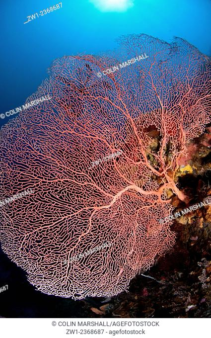 Gorgonian Fan with sun in background, Cauldron Point dive site, Komba Volcano, near Alor, Indonesia