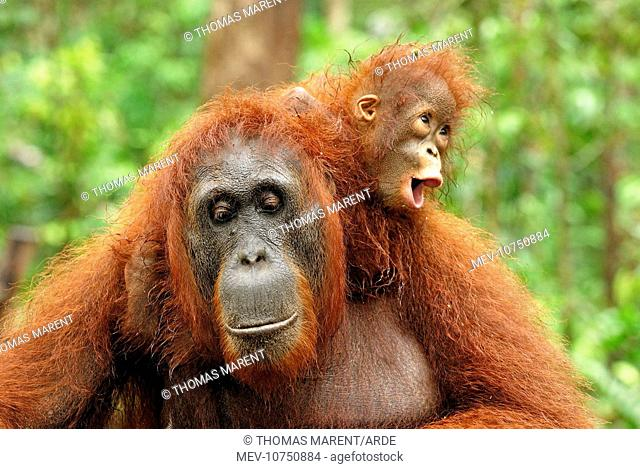 Borneo Orangutan - female with baby. (Pongo pygmaeus)