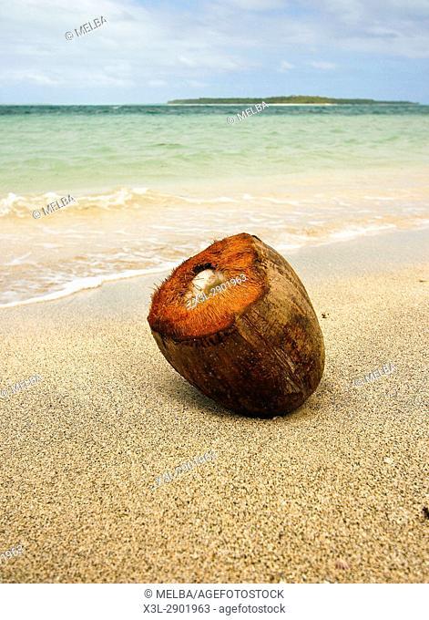 Coconut. Lifuka island. ha'apai islands. Tonga. Polynesia