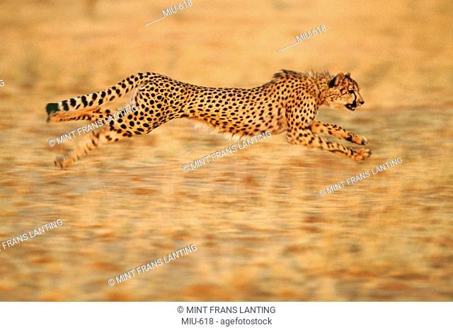 Cheetah running, Acinonyx jubatus, Namibia