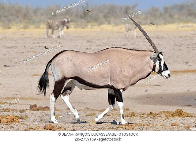 Gemsbok (Oryx gazella) walking on arid ground, two Burchell's zebras (Equus quagga burchellii) behind, Etosha National Park, Namibia, Africa