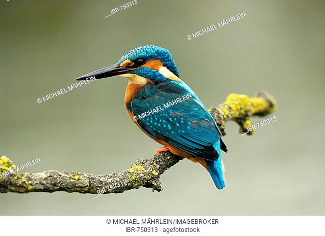 Common Kingfisher or European Kingfisher (Alcedo atthis) perched on a branch
