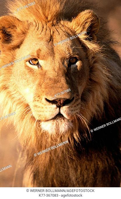 Lion (Panthera leo) in captivity. Game Farm. Namibia