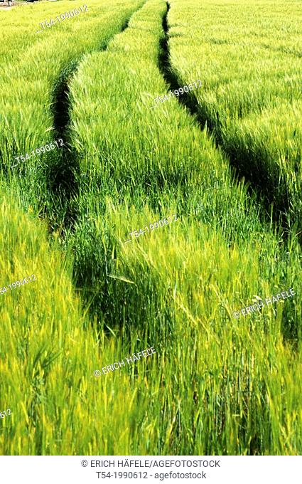Tractor tracks in green barley field