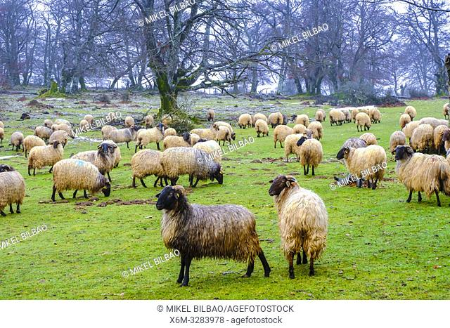 Flock of sheep in a grassland. Urbasa y Andia Natural Park. Navarre, Spain, Europe