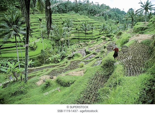 Rice Terraces Near Ubud Bali Indonesia