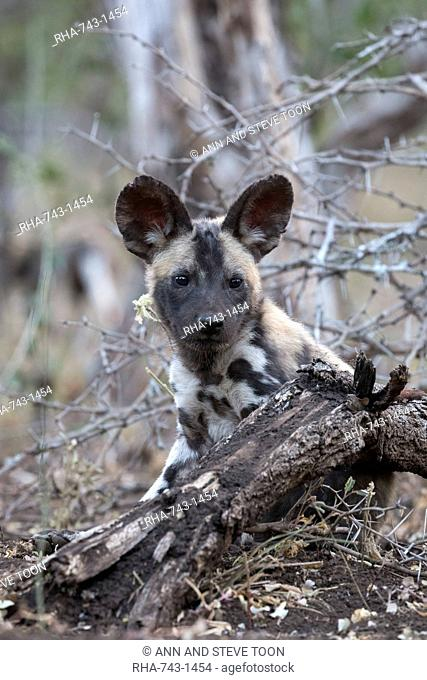African wild dog pup (Lycaon pictus), Zimanga private game reserve, KwaZulu-Natal, South Africa, Africa