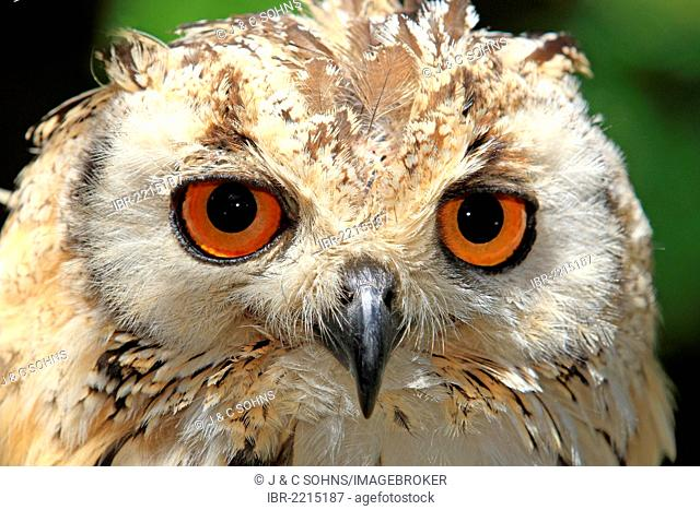 Indian Eagle-Owl, Rock Eagle-Owl or Bengal Eagle-Owl (Bubo bengalensis), adult, Cape Town, South Africa, Africa