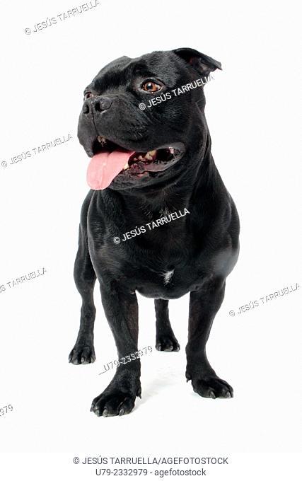 Portrait of Stanford shire bull terrier dog