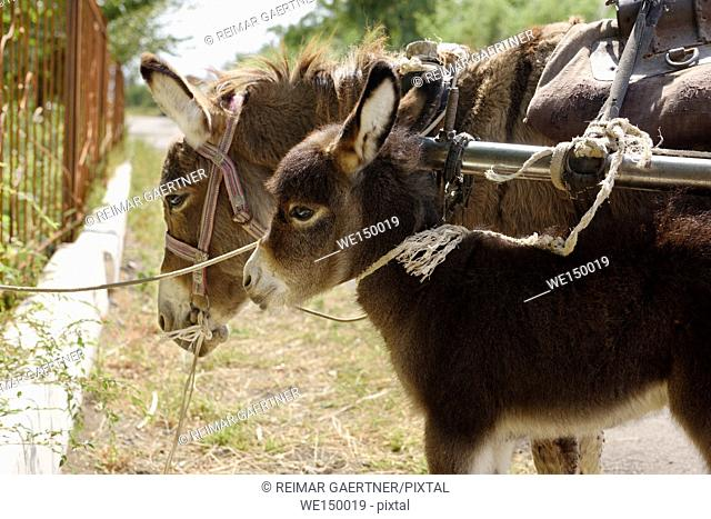 Donkey foal tied with mother while waiting in Kalinino Basshi Kazakhstan