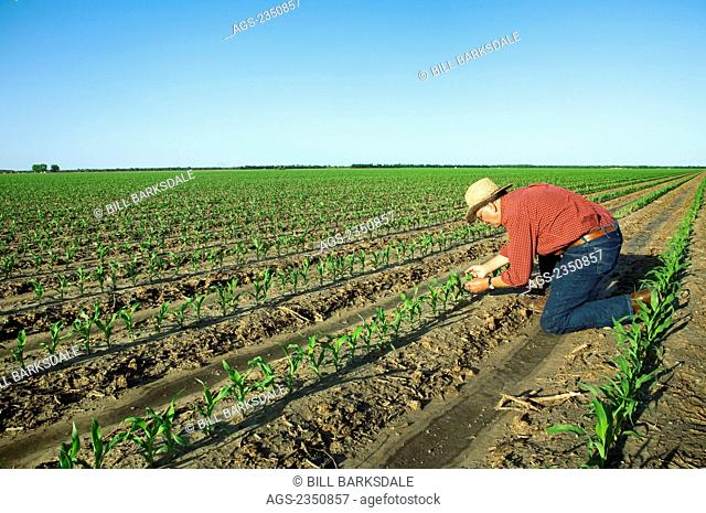 Agriculture - A farmer (grower) examines early growth grain corn plants at the four leaf stage / near England, Arkansas, USA