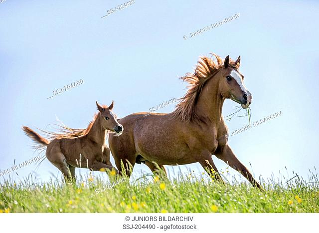 Arabian Horse. Chestnut mare with foal galloping on a pasture. Austria