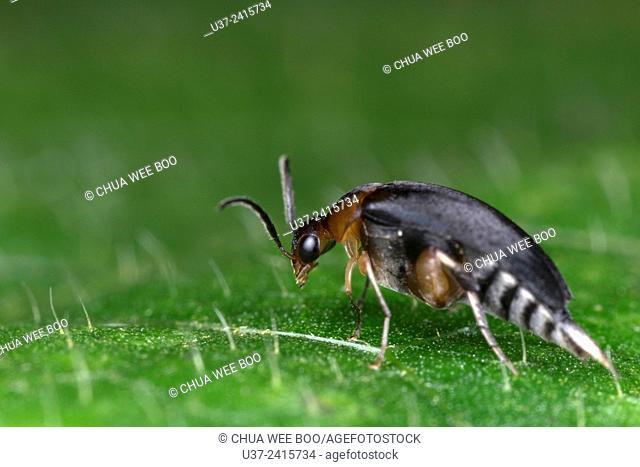 Beetle. Image taken at Kamping Skudup, Sarawak, Malaysia