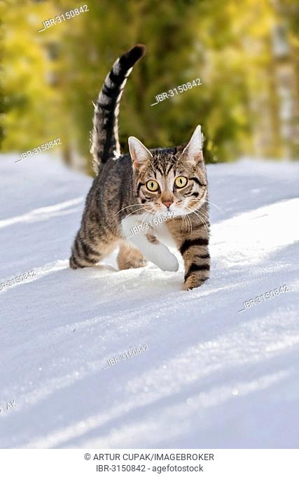Cat walking through fresh snow, Bavaria, Germany