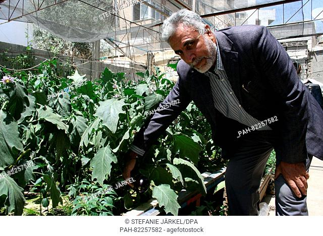 Said Abu Nasser shows his Aubergine plants grown in water without soil in Gaza, Palestine, 06 June 2016. The 53-year-old has been working for six years on...