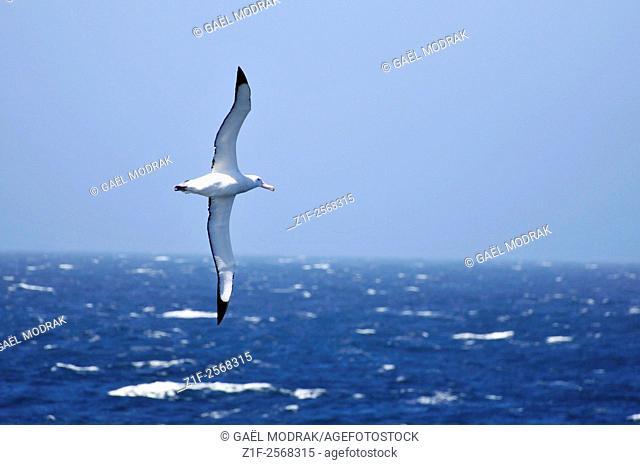 Flying albatross next to the boreal polar circle