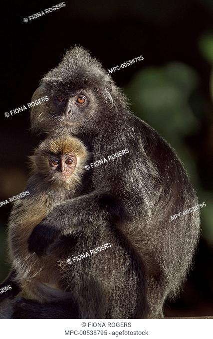 Silvered Leaf Monkey (Trachypithecus cristatus) mother with five month old baby, Bako National Park, Sarawak, Borneo, Malaysia
