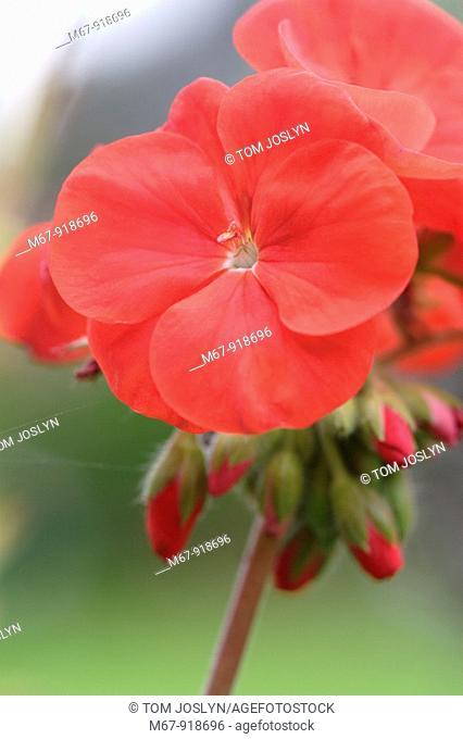 Red geranium Pelargonium flowers of the zonal type close up England UK